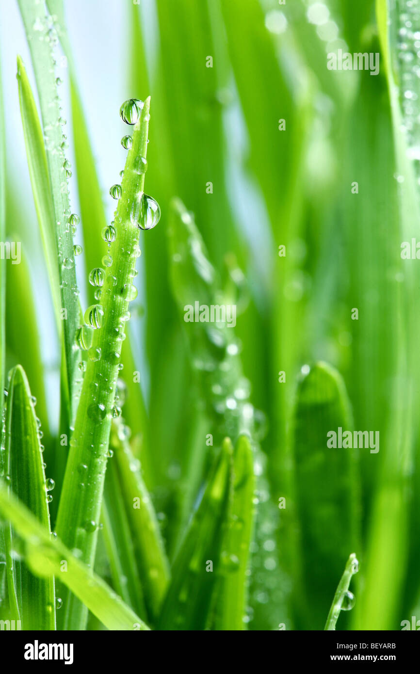 Dew drop on a green grass - Stock Image