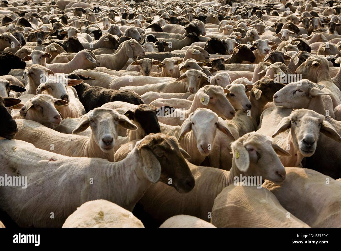 A flock of sheep, full frame - Stock Image