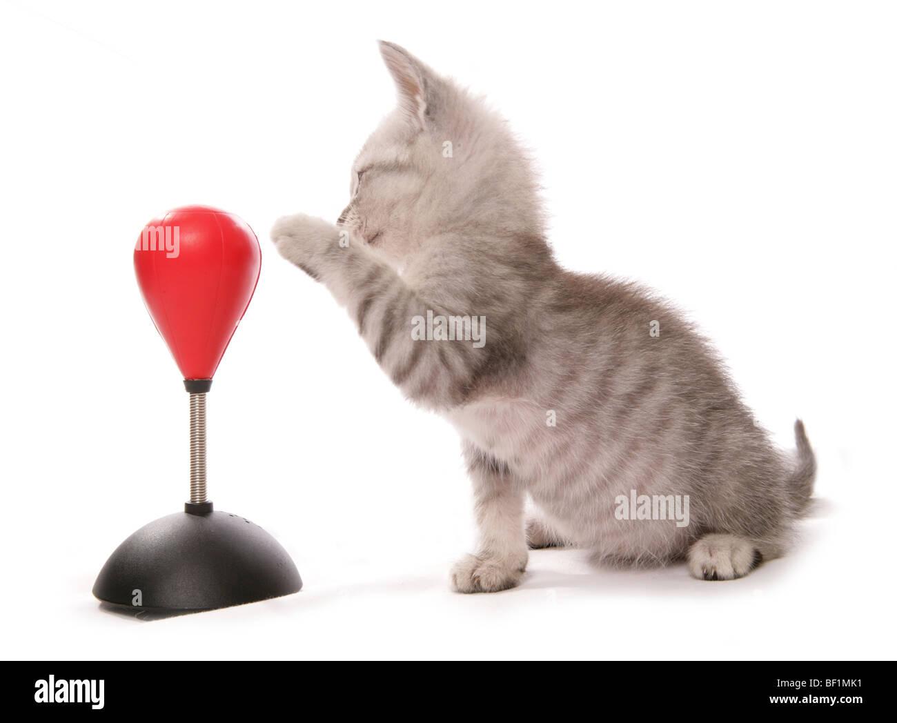 kitten with boxing bag studio portrait - Stock Image