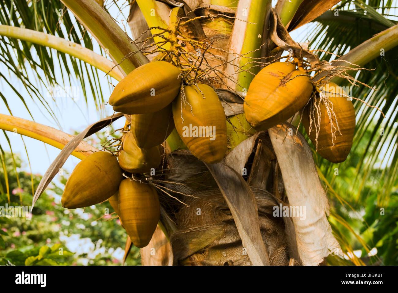 Agriculture - Mature coconuts (Cocos nucifera) on a coconut palm tree / Kona, Hawaii, USA. Stock Photo