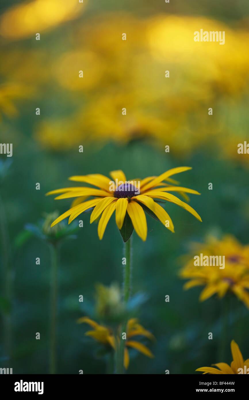 Rudbeckia in soft summer sunshine - Stock Image