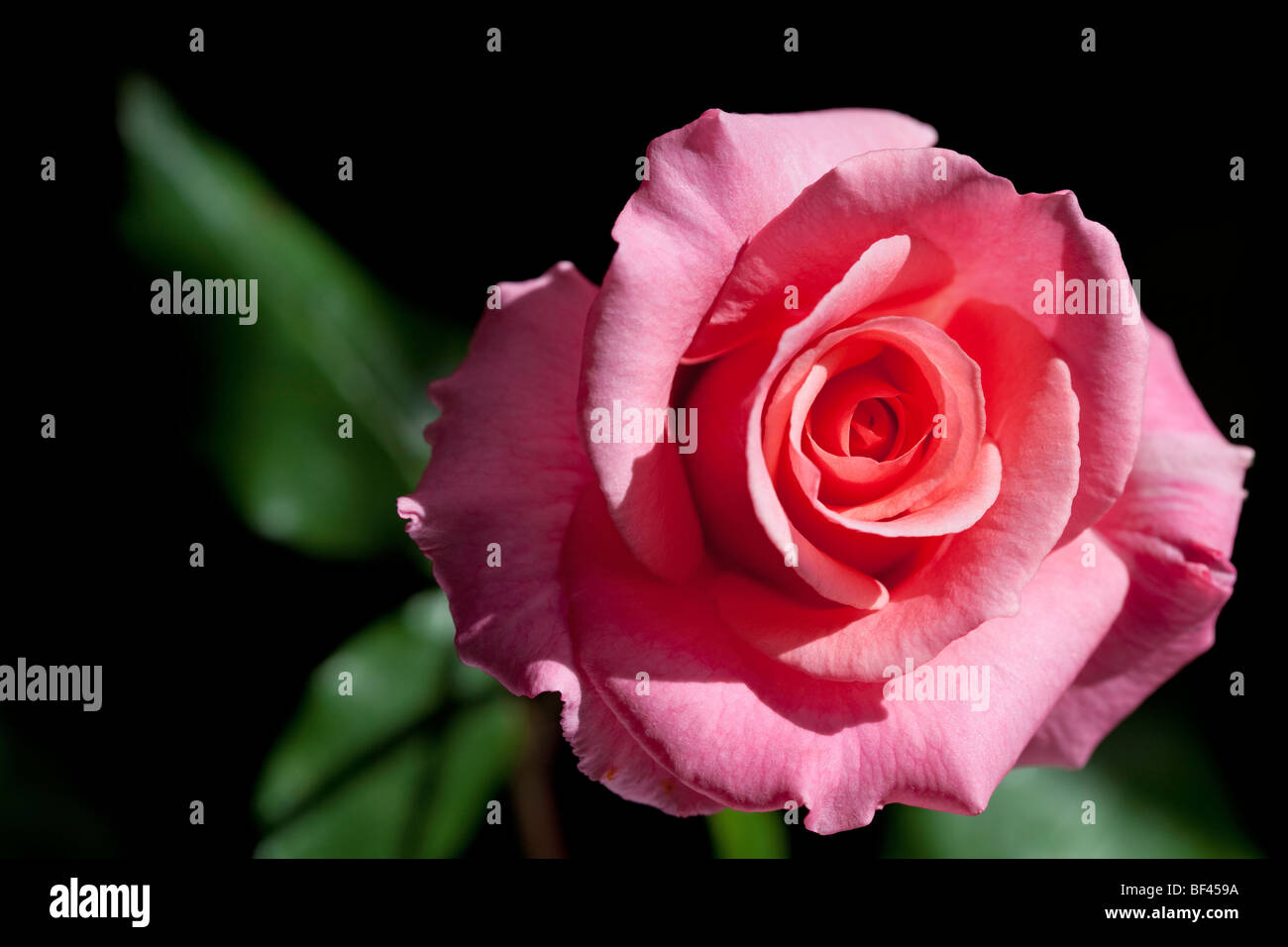 Pink rose against a dark background - Stock Image