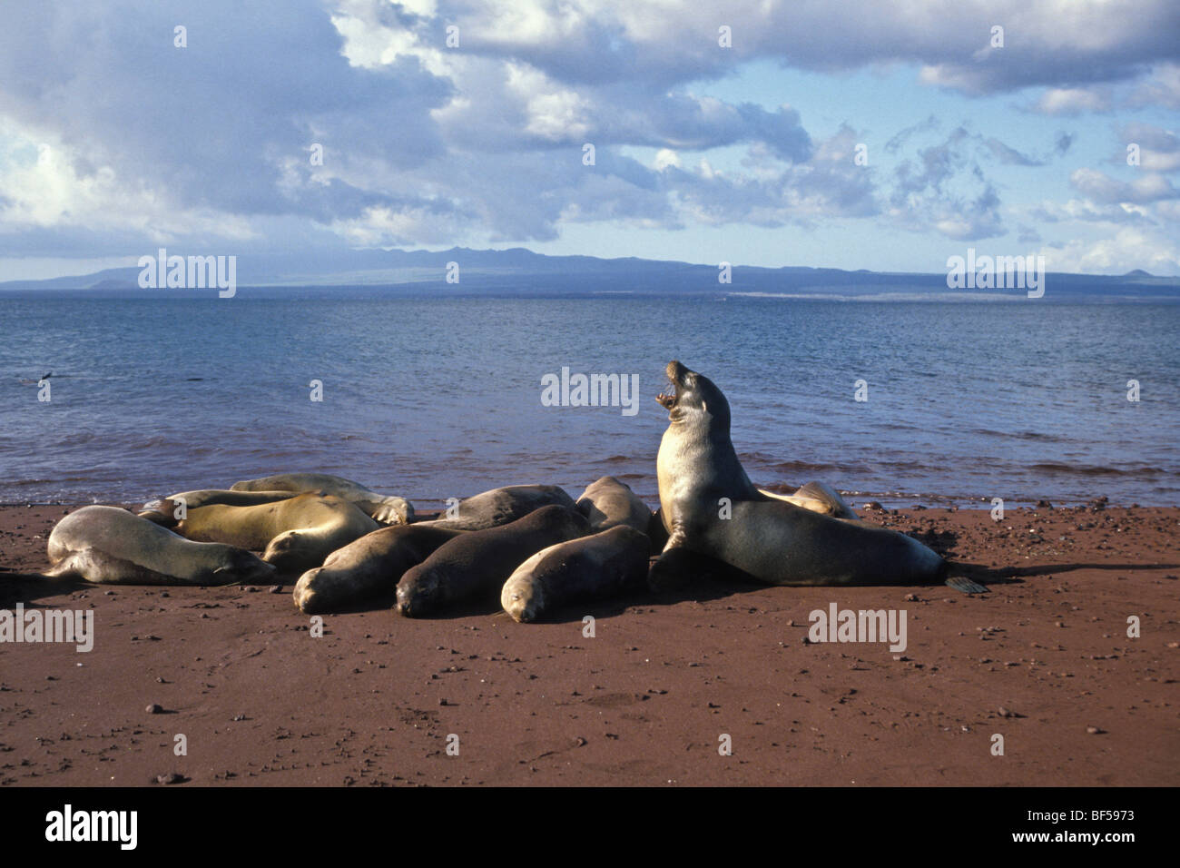 Californian Sea Lions (Zalophus californianus wollebaeki), Galapagos, Ecuador, South America - Stock Image