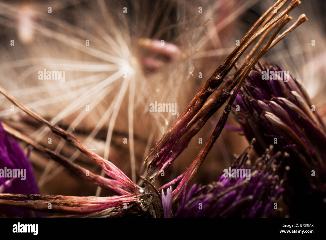 Dried flowers - Stock Image