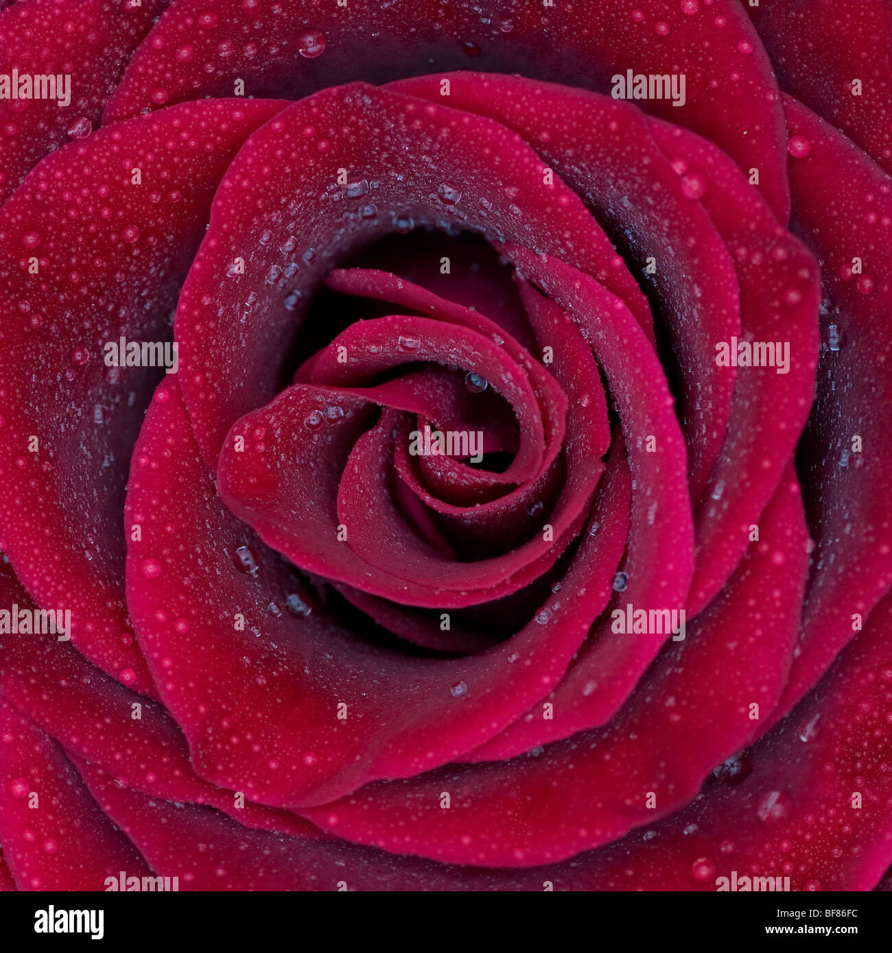 Red rose with water drops - Stock Image