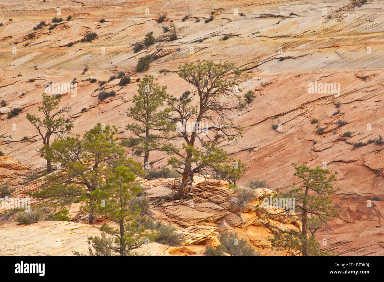 Ponderosa pines grow amid sandstone slickrock of, along Zion-Mt. Carmel Highway, East Entrance of Zion National - Stock Image