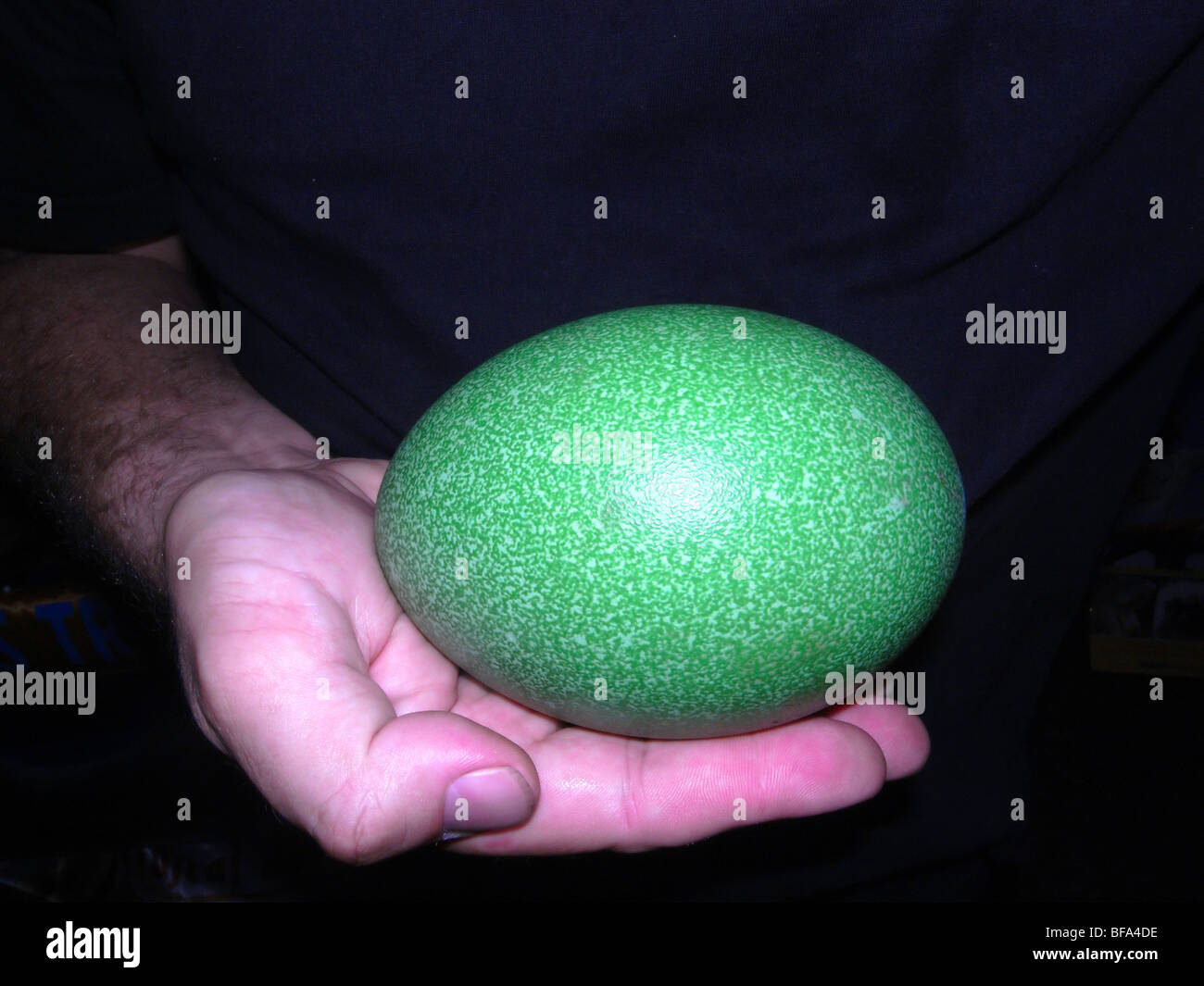 Hand holding southern cassowary egg Stock Photo