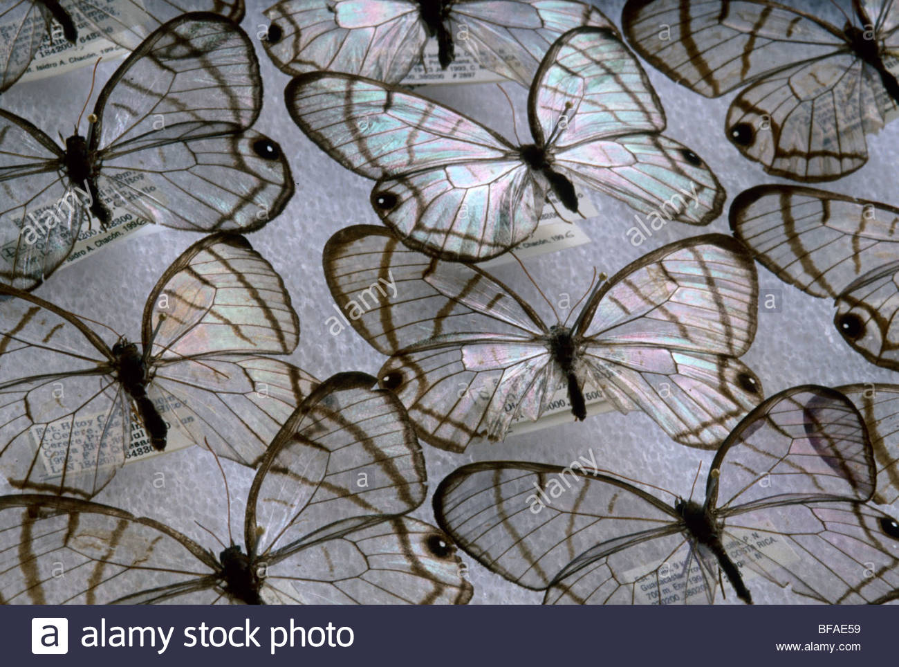 Glass wing butterflies, Dulcedo polita, National Institute of Biodiversity, Costa Rica - Stock Image