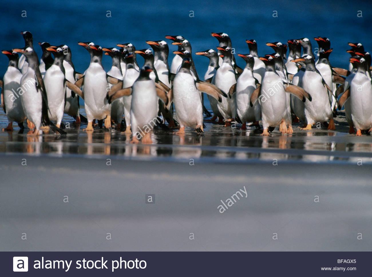 Gentoo penguins coming ashore, Pygoscelis papua, Falkland Islands - Stock Image