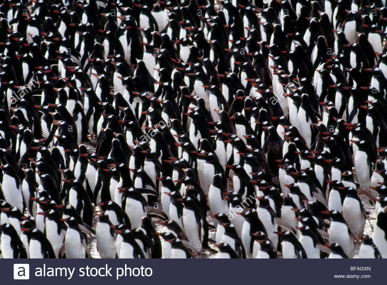 Gentoo penguins on beach, Pygoscelis papua, Falkland Islands - Stock Image