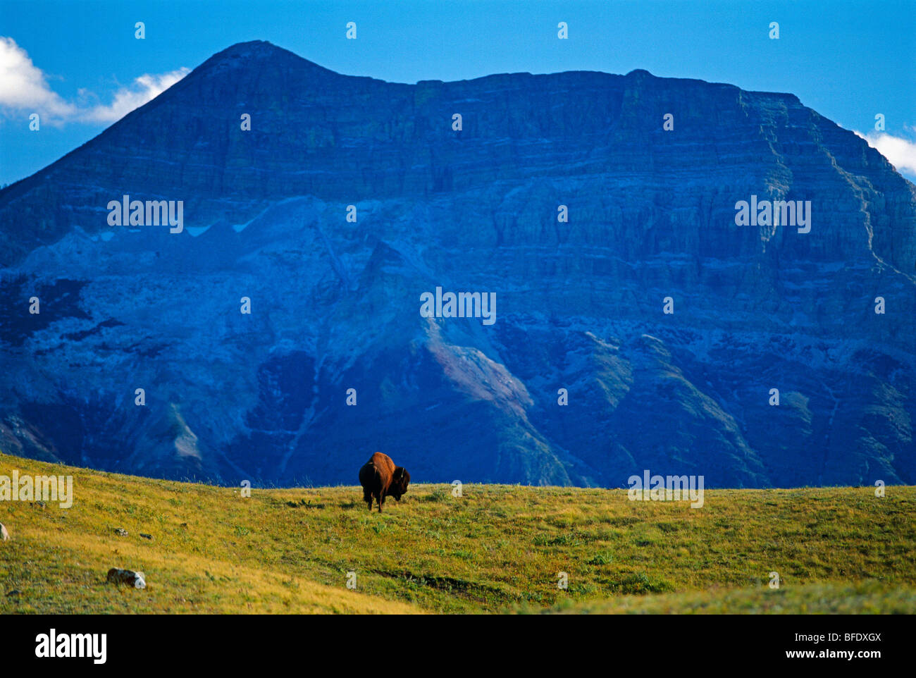 Bison (Bison bison) in field with Vimy Peak in the background, Waterton Lakes National Park, Alberta, Canada - Stock Image