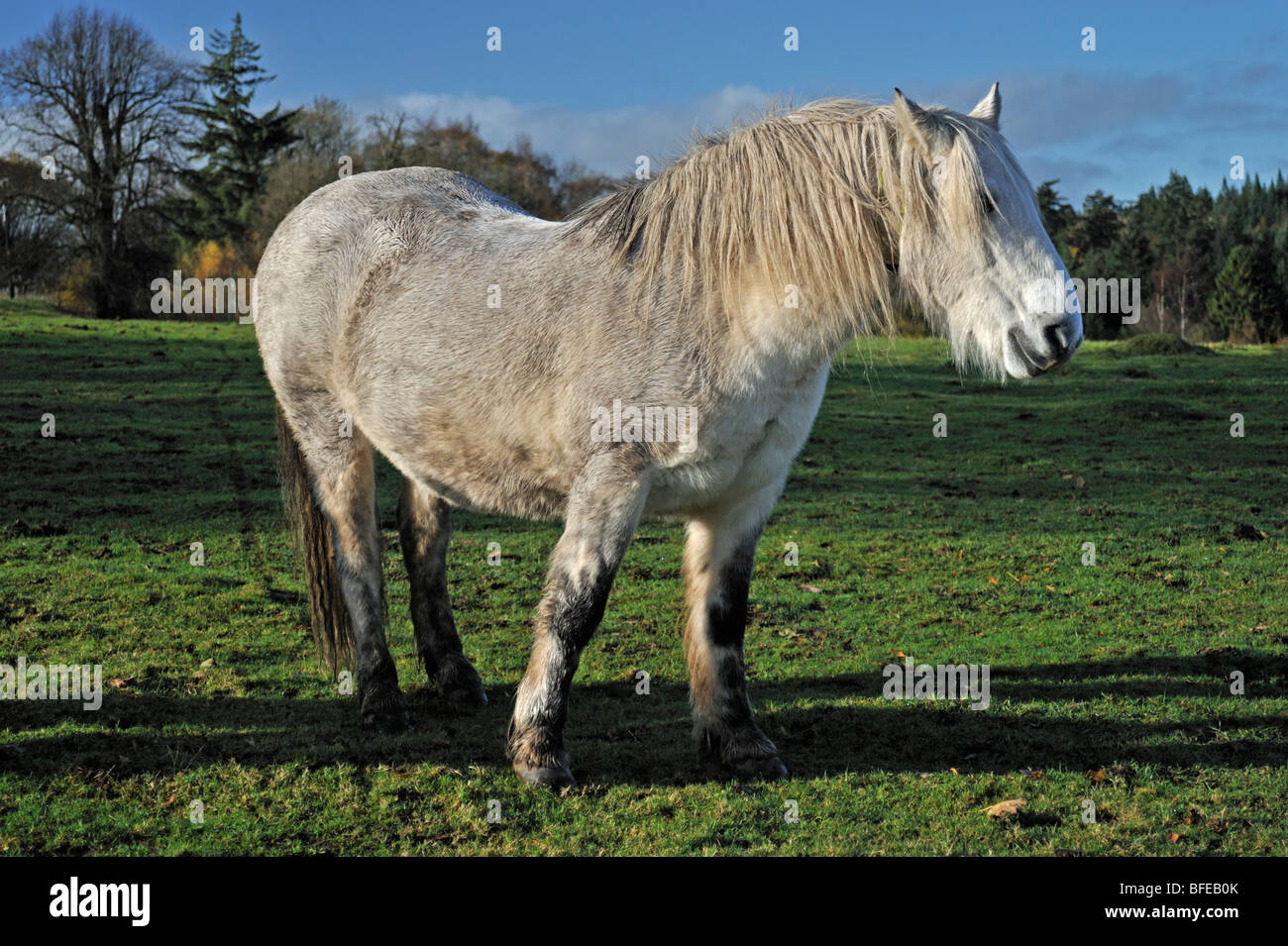 grey-highland-pony-in-winter-sunshine-BFEB0K.jpg