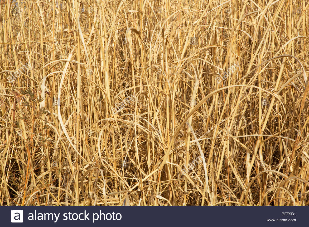 "Natural texture dry tall grass  ""New Mexico"" Stock Photo"
