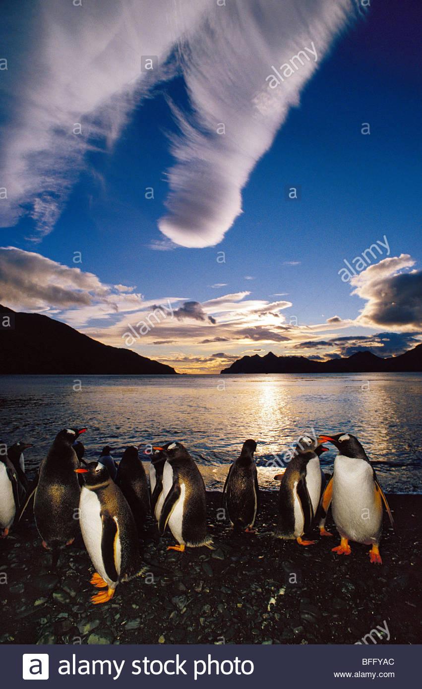 Gentoo penguins at midnight, Pygoscelis papua, South Georgia Island - Stock Image