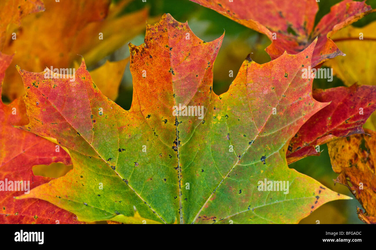 Leaf Changing Color Stock Photos & Leaf Changing Color Stock Images ...