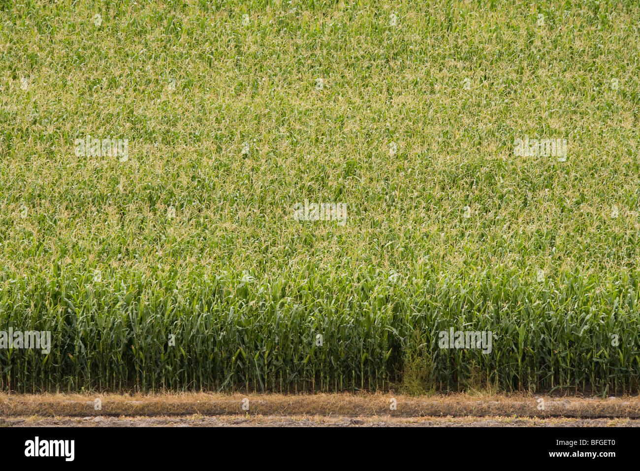 Aerial view of an American corn maize field in summer. North Platte, Nebraska, NE US USA. - Stock Image