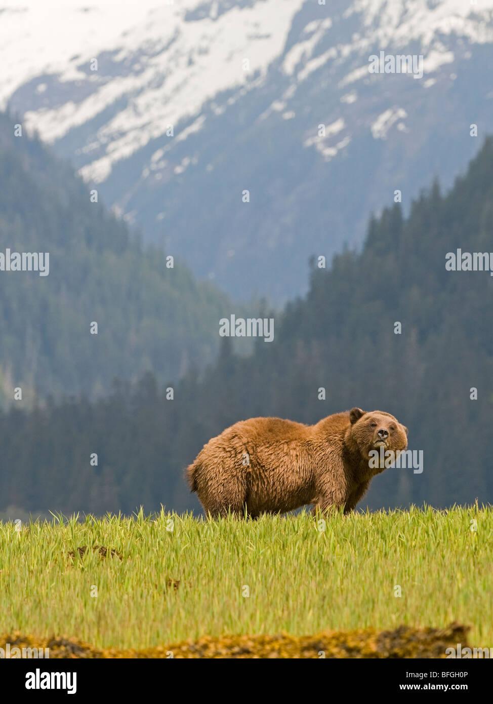 Male Grizzly Bear (Ursus arctos horribilis)  Khutzeymateen Grizzly Bear Sanctuary North of Prince Rupert British - Stock Image