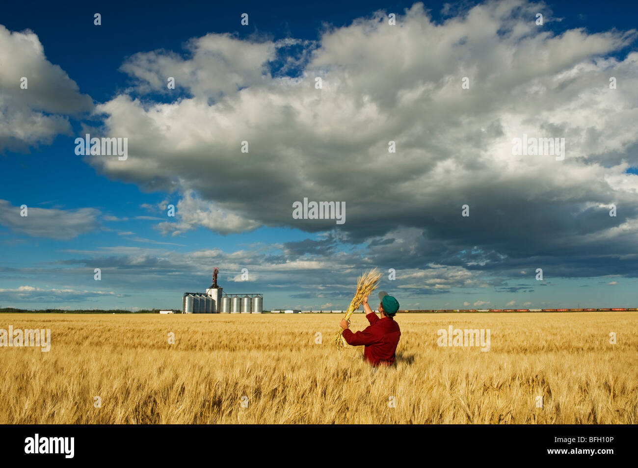 Man looks mature barley with an inland grain terminal and developing cumulonimbus clouds in background near Winnipeg - Stock Image
