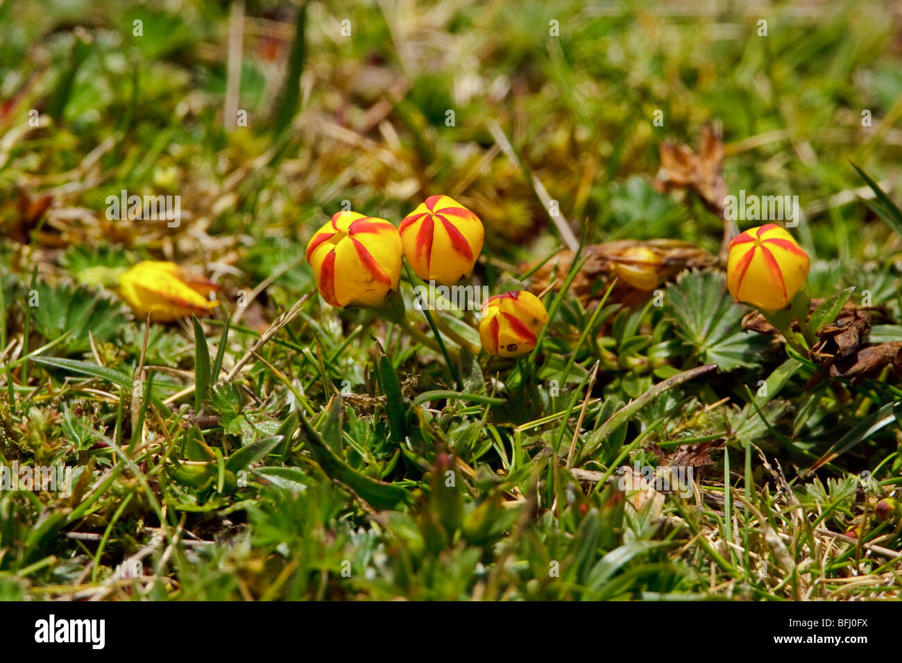 Paramo vegetation in Cajas National Park is southern Ecuador. - Stock Image