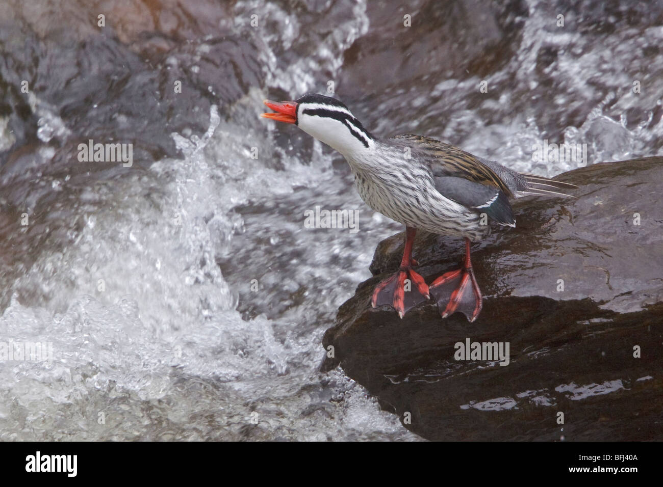 Torrent Duck (Merganetta armata) perched on a rock alongside a rushing stream in the highlands of central Ecuador. - Stock Image