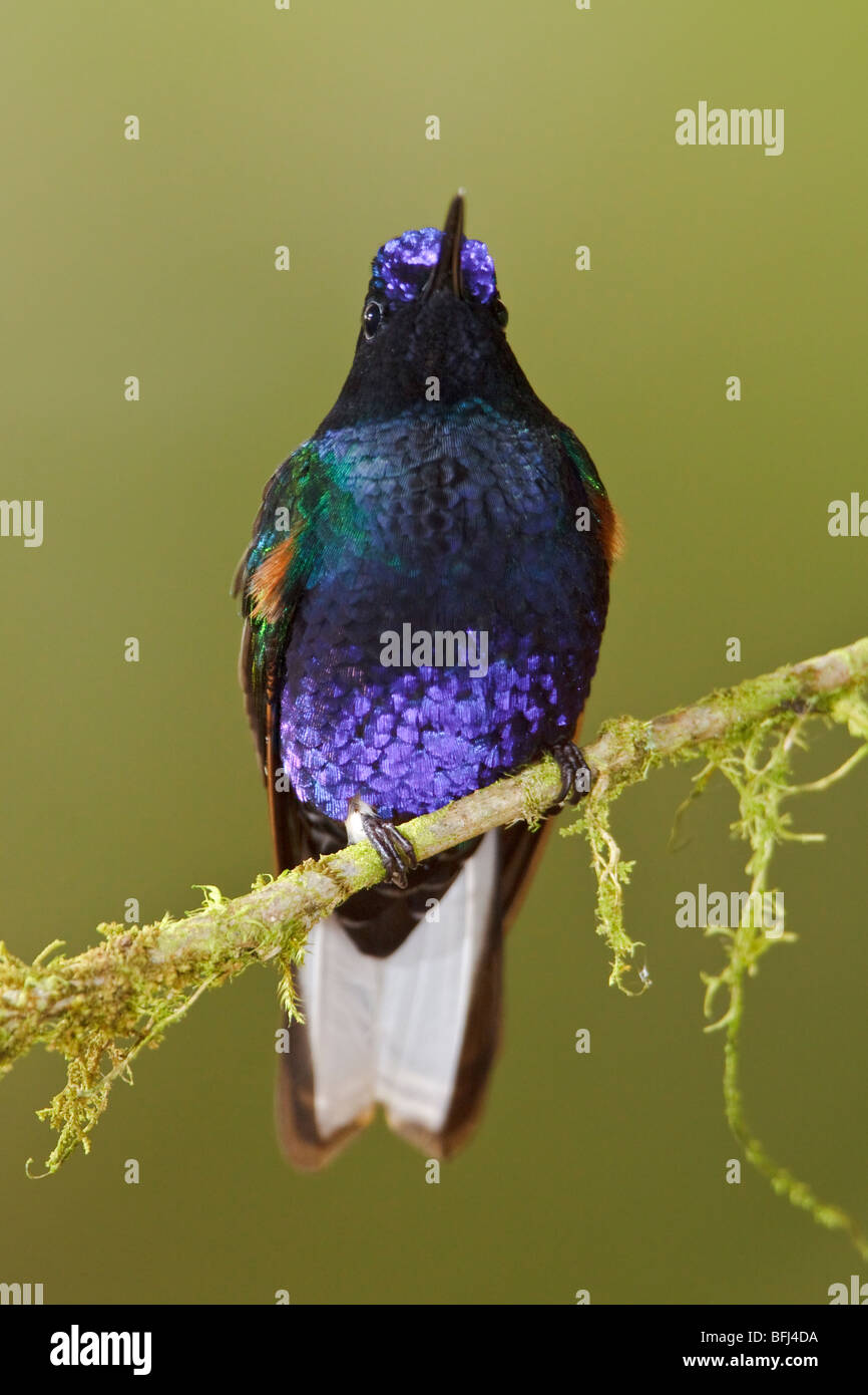 Velvet-purple Coronet (Boissonneaua jardini) perched on a branch at the Mindo Loma  reserve in northwest Ecuador. - Stock Image