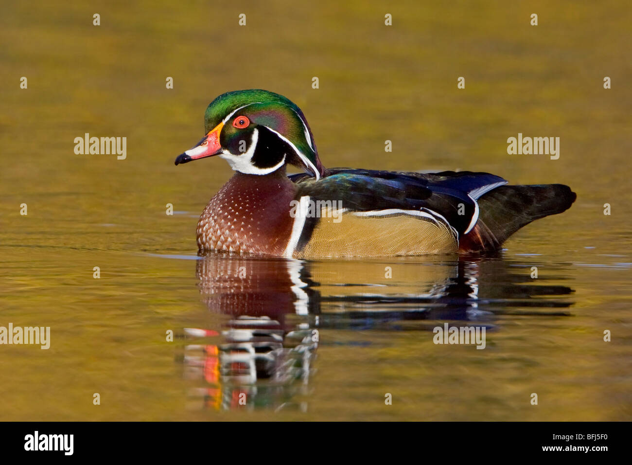 Wood Duck (Aix sponsa) swimming on a golden pond in Victoria, BC, Canada. - Stock Image