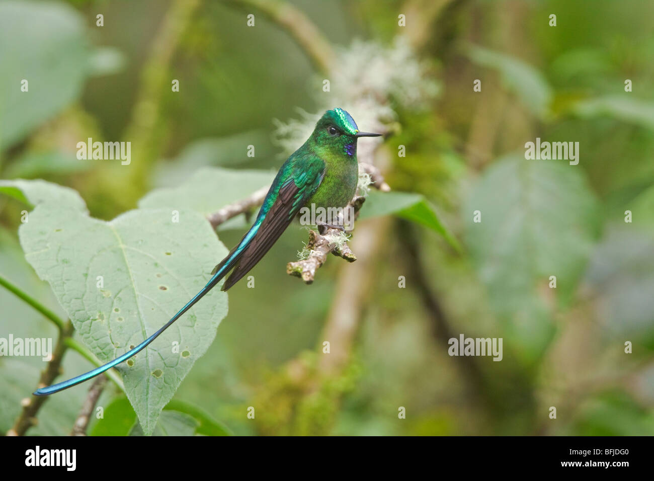 Long-tailed Sylph (Aglaiocercus kingi) perched on a branch near the papallacta Pass in the highlands of central - Stock Image