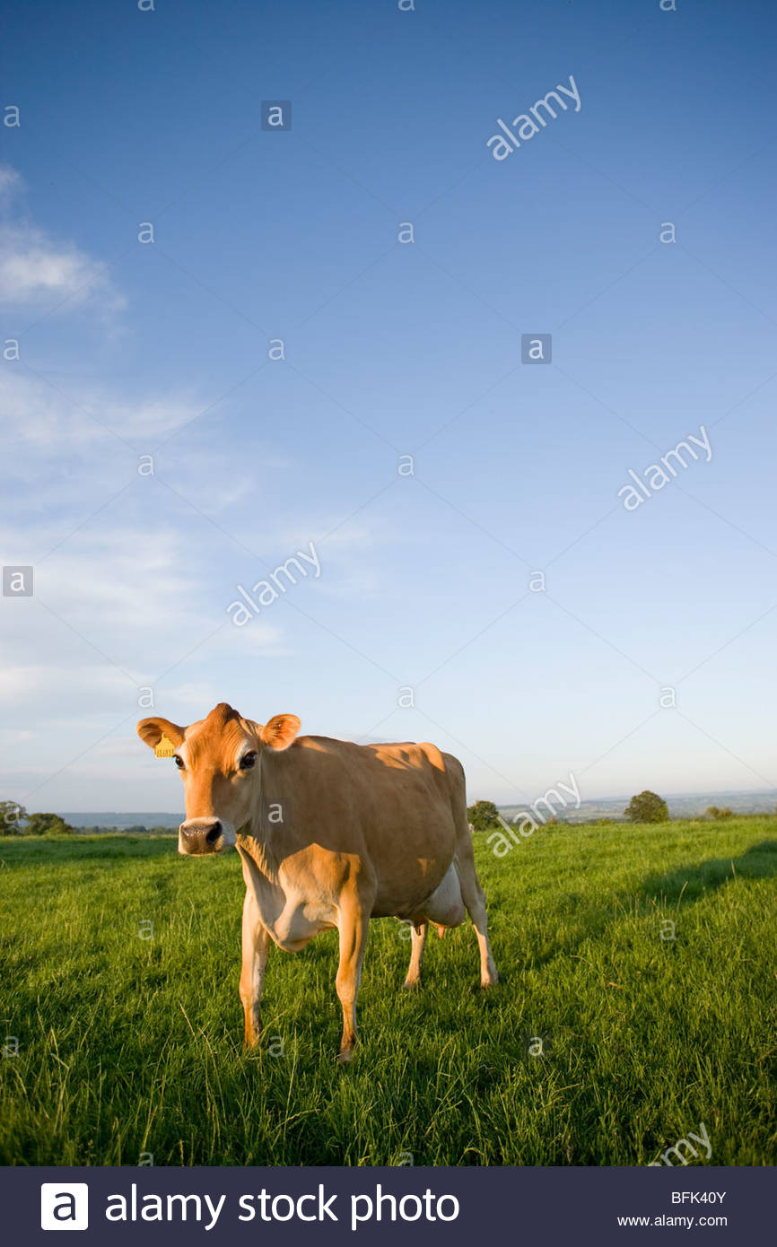 Jersey cow in rural field - Stock Image