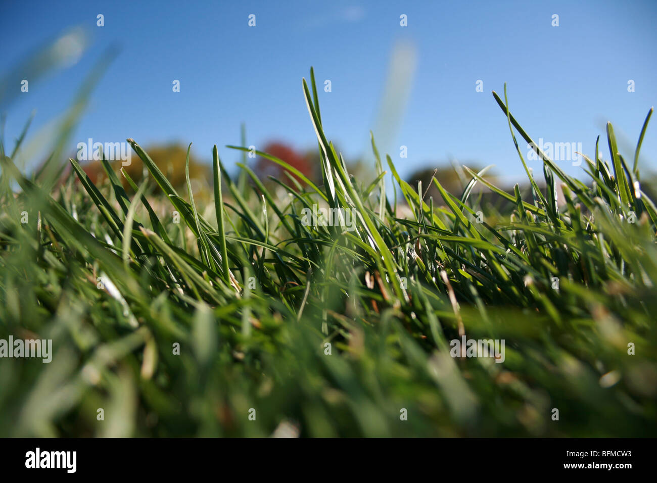 close up, blades of grass under blue sky - Stock Image