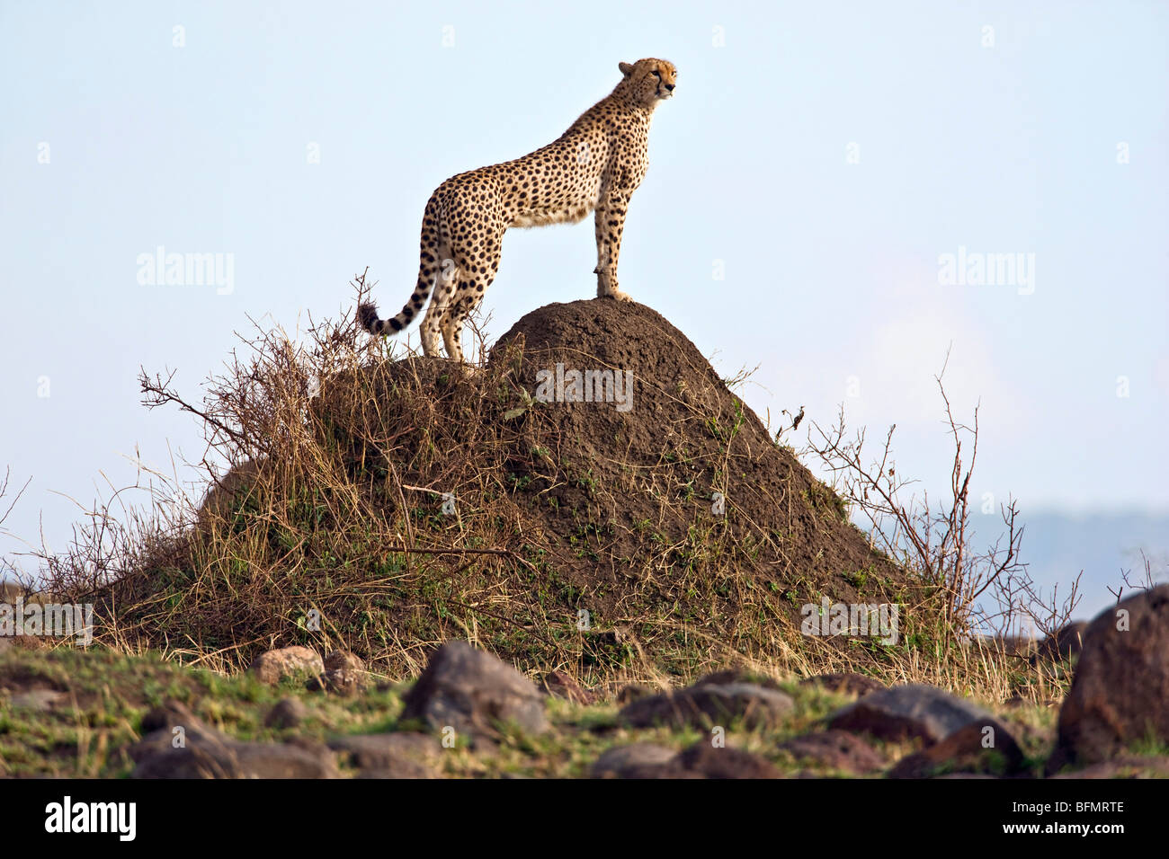 Kenya. A cheetah surveys her surroundings from the top of a termite mound in Masai Mara National Reserve. - Stock Image