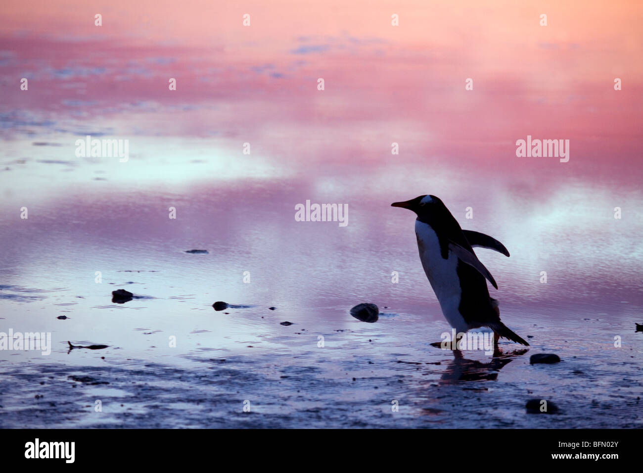 Falkland Islands. Gentoo penguns (Pygoscelis papua) on 'penguin highway' between sea and rookery at Bluff - Stock Image