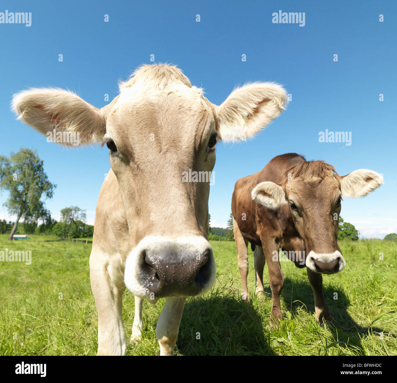 Cows in field - Stock Image