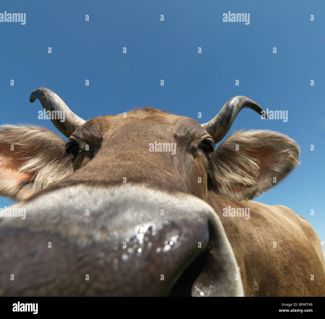 Cow in field, close-up - Stock Image