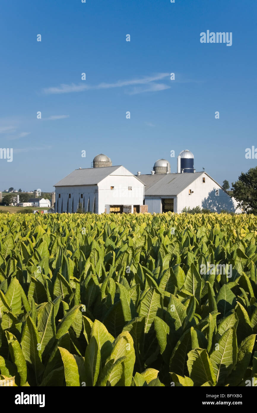 Tobacco crop nearing harvest on an Amish farm in Lancaster County, Pennsylvania - Stock Image