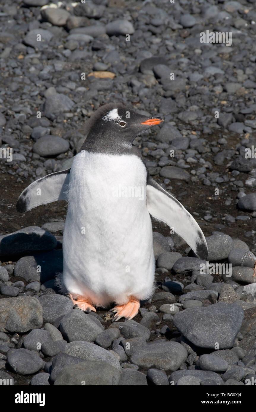 Gentoo penguin moulting at Brown Bluff, Antarctic Peninsula, Antarctica, Polar Regions - Stock Image