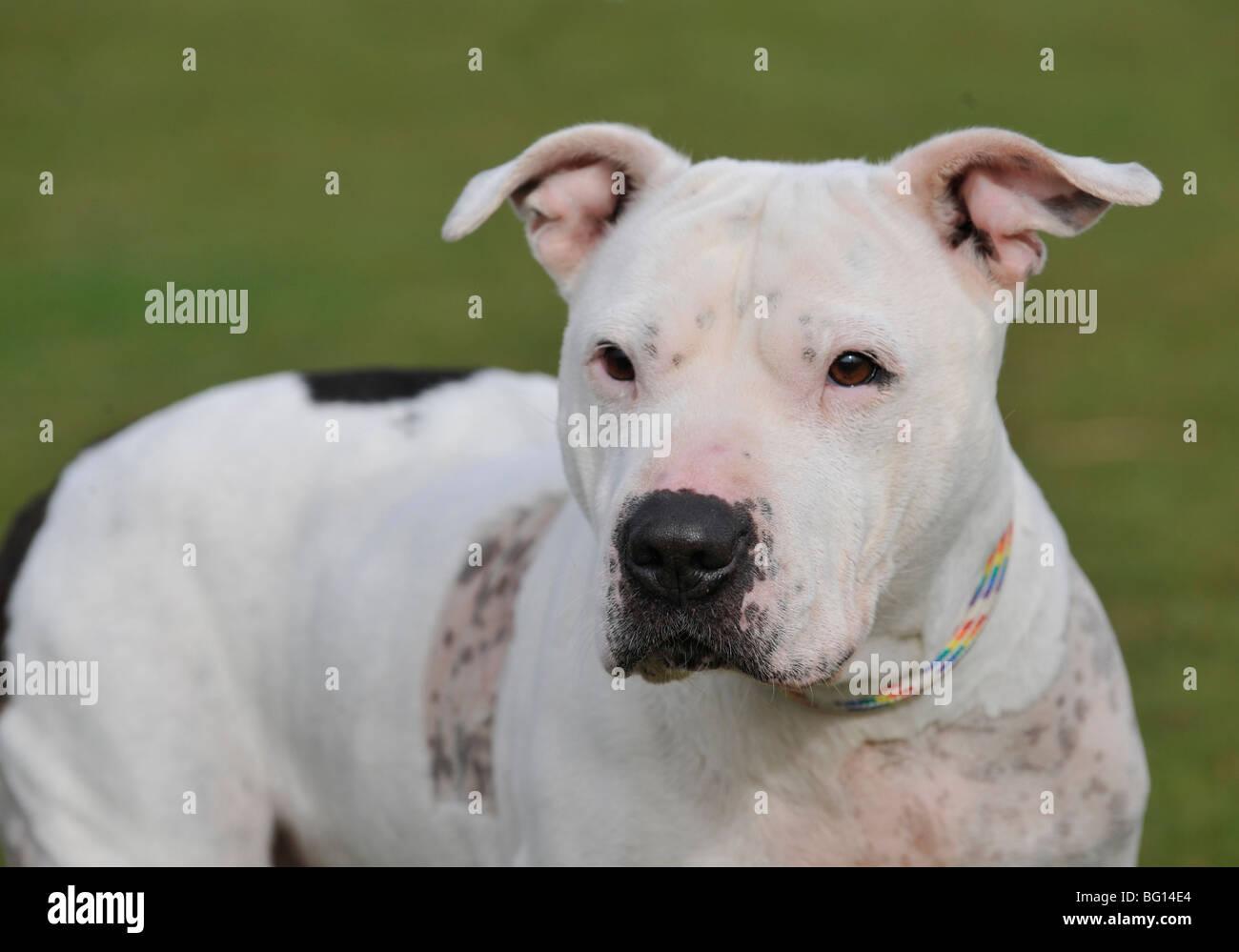 american pitbull terrier type dog - Stock Image