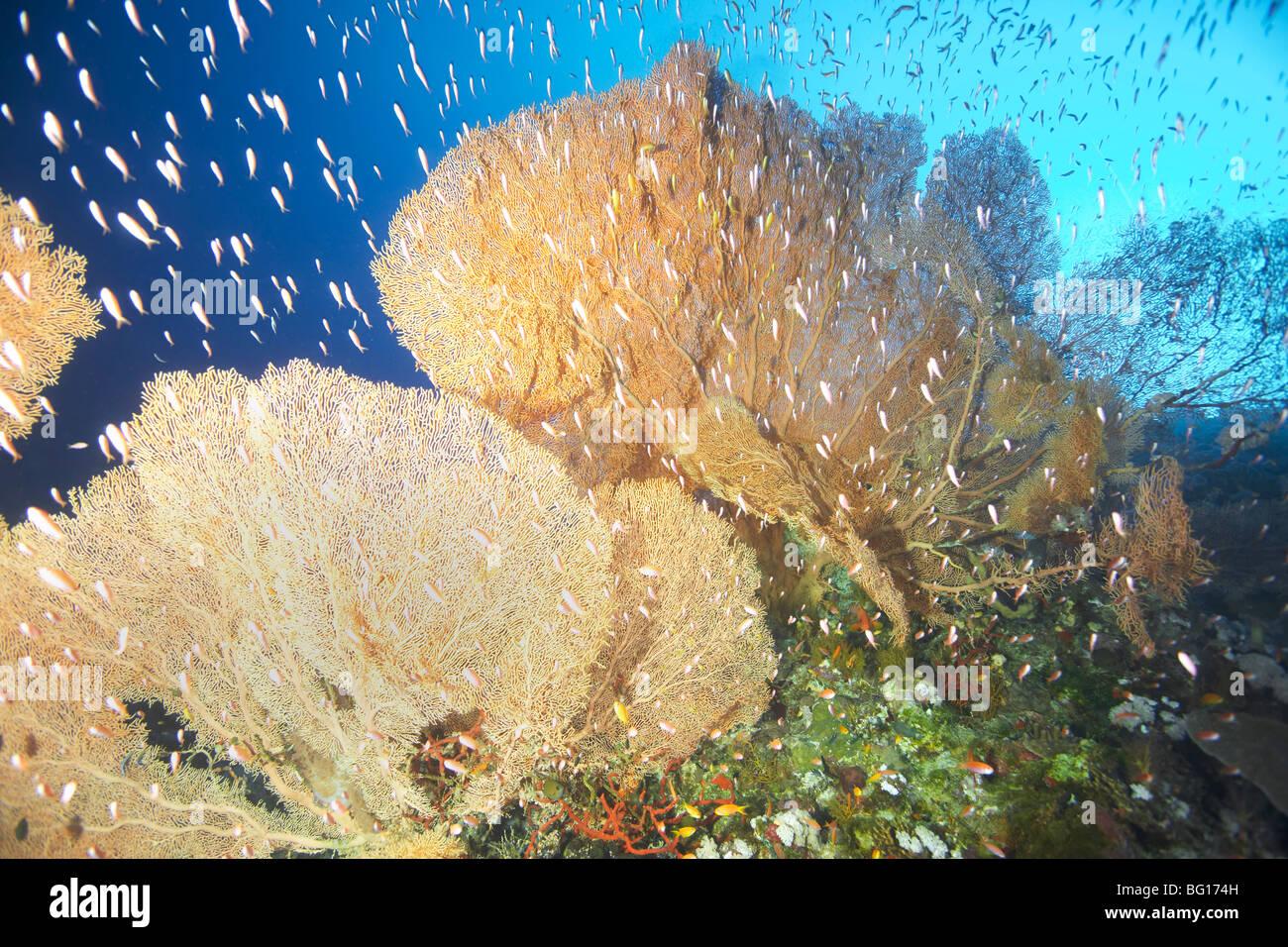 Giant fan coral stock photo 27072433 alamy giant fan coral publicscrutiny Choice Image