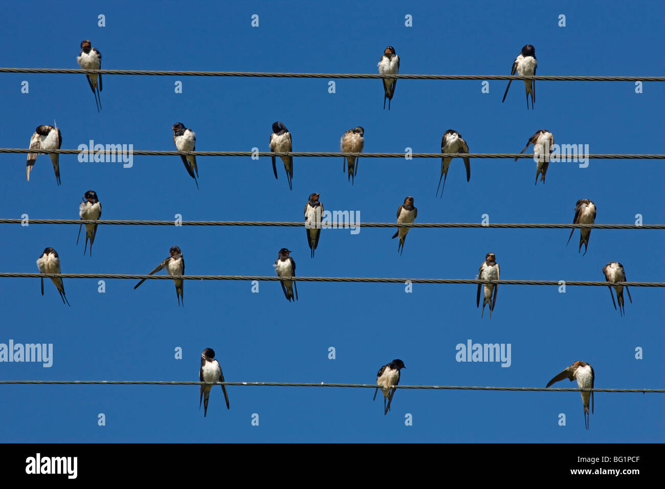 Barn (European) swallow (Hirundo rustica) on wire, Overberg, Western Cape, South Africa, Africa - Stock Image