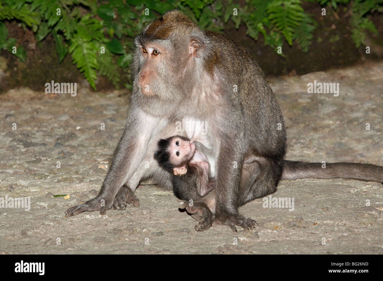 female-long-tailed-macaque-or-crab-eating-macaque-macaca-fascicularis-BG26ND.jpg