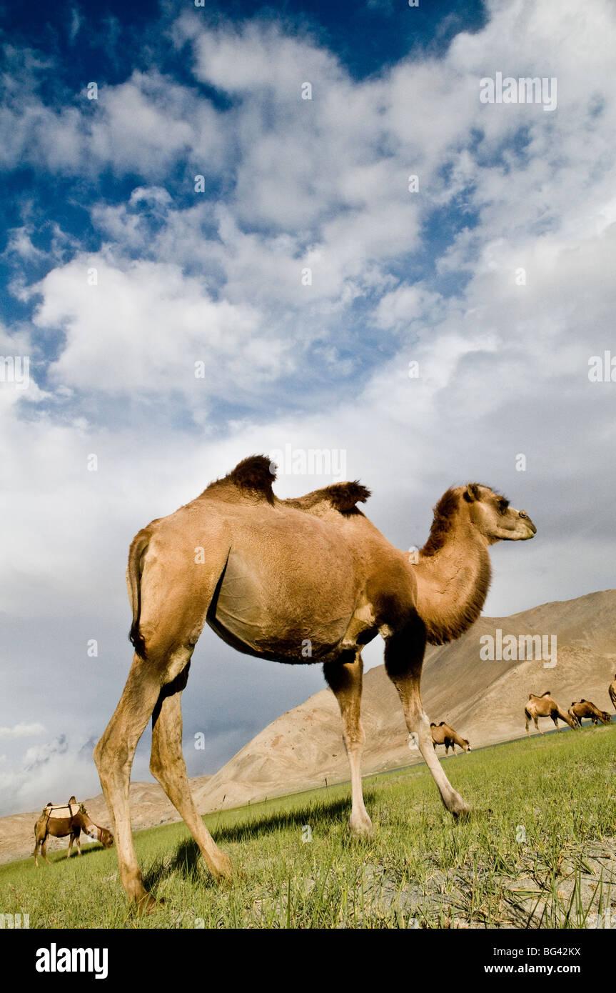Bactrian camels roam the grasslands around Karakul lake in Xinjiang. - Stock Image