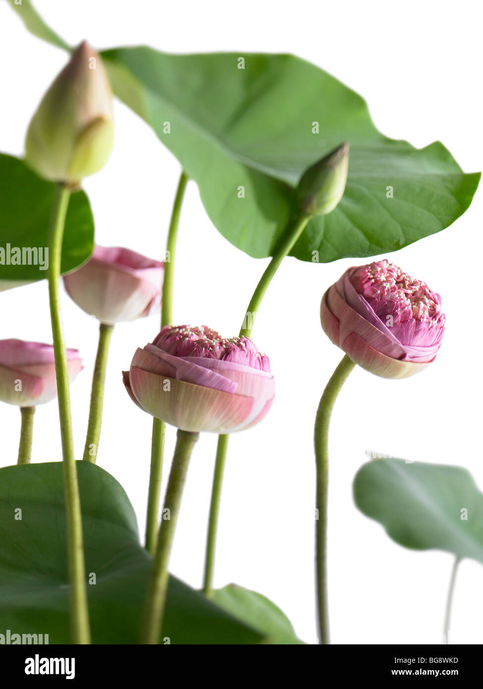Pink lotus flower buds and leaves stock photo 27240625 alamy pink lotus flower buds and leaves izmirmasajfo