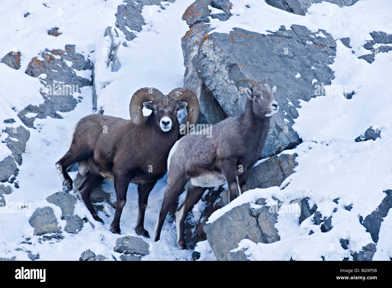 A male and female Bighorn Sheep - Stock Image