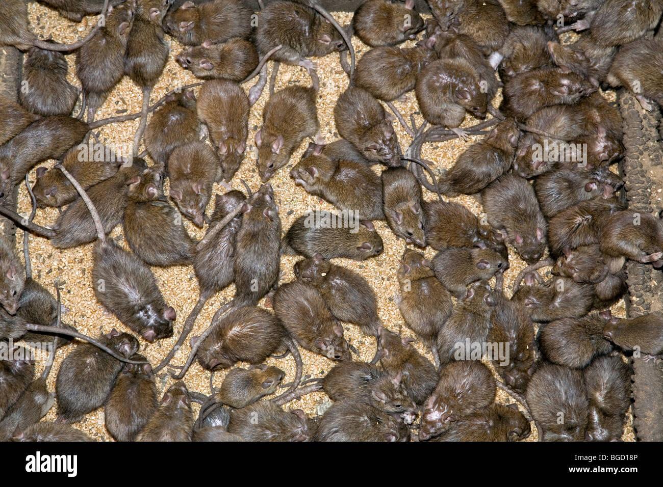 Image result for Images of the Deshnok RAT TEMPLE Rajasthan