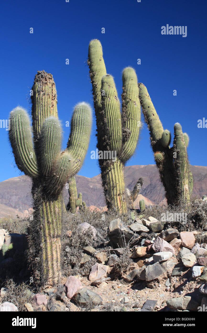 cactus, Tilcara, Northern Argentina - Stock Image