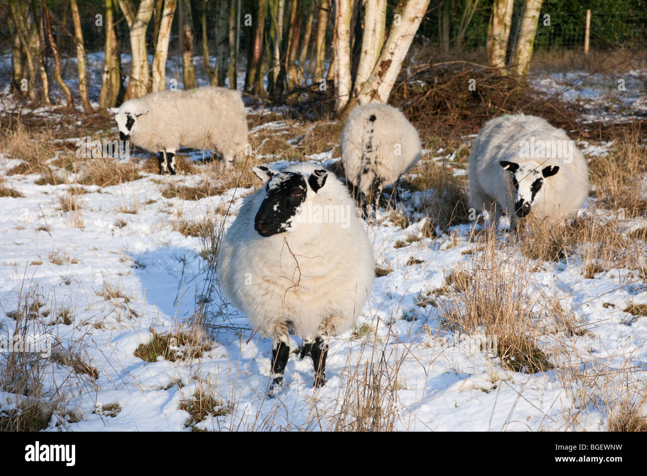 Beulah Speckled Face sheep grazing in a Nature Reserve in winter snow. A rare hardy Welsh breed. England UK Britain - Stock Image