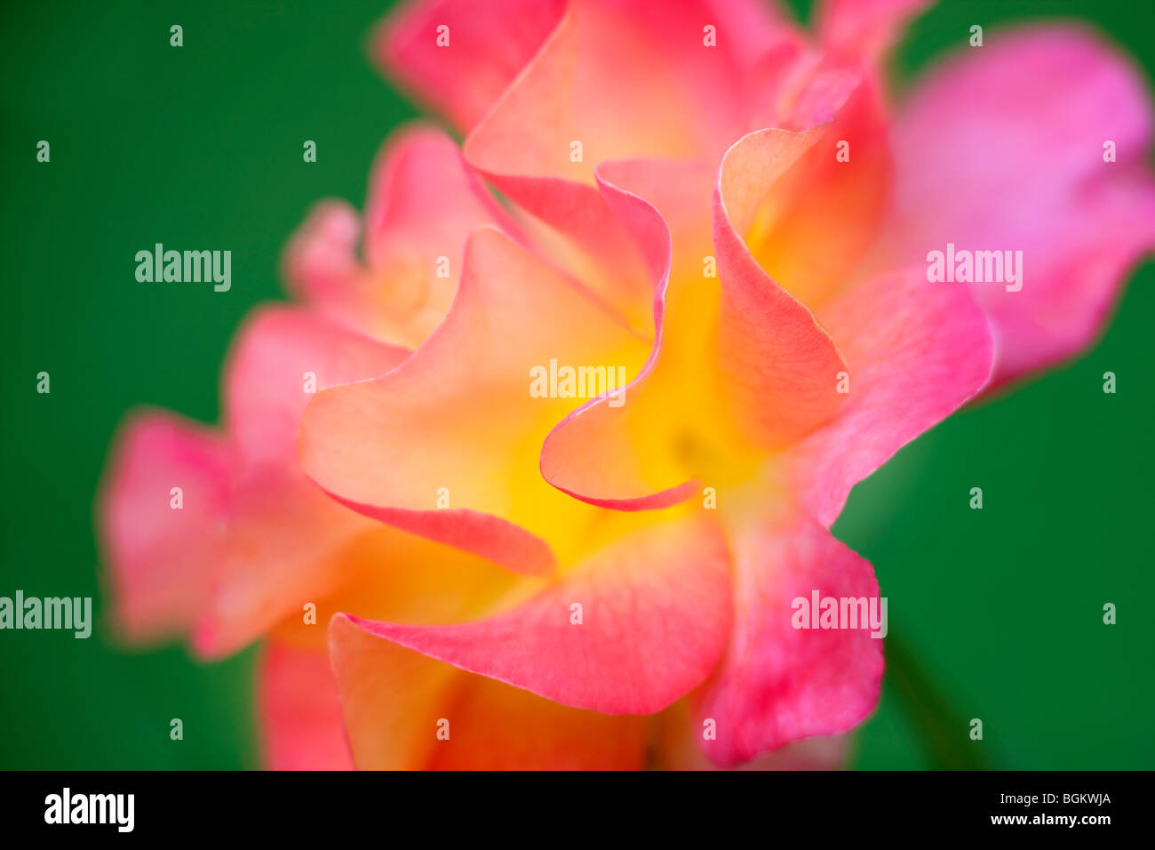 Mardi Gras rose. International Rose Test Gardens. Portland, Oregon - Stock Image
