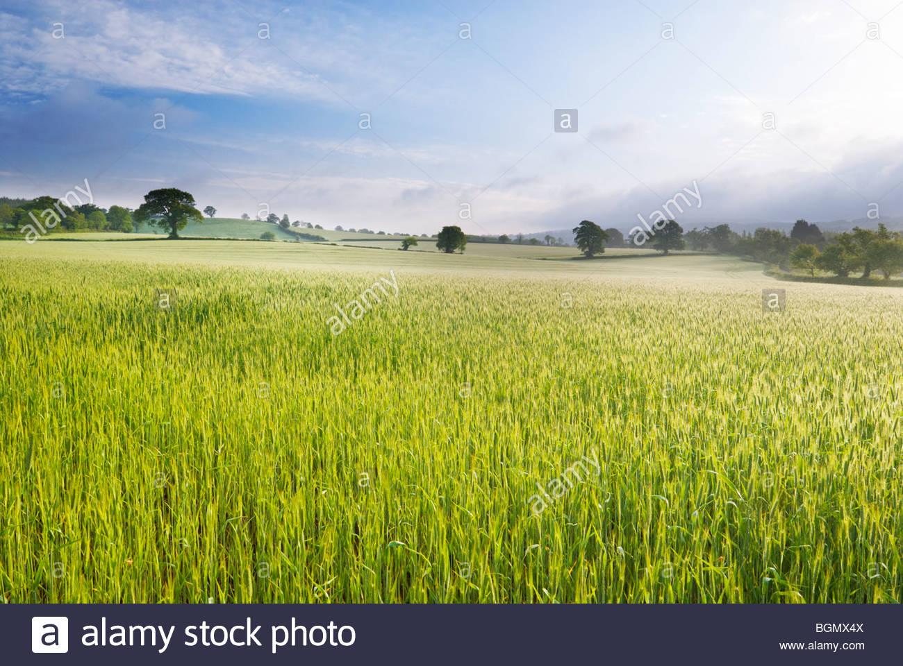 Wheat field, near Budleigh Salterton, East Devon, England. - Stock Image