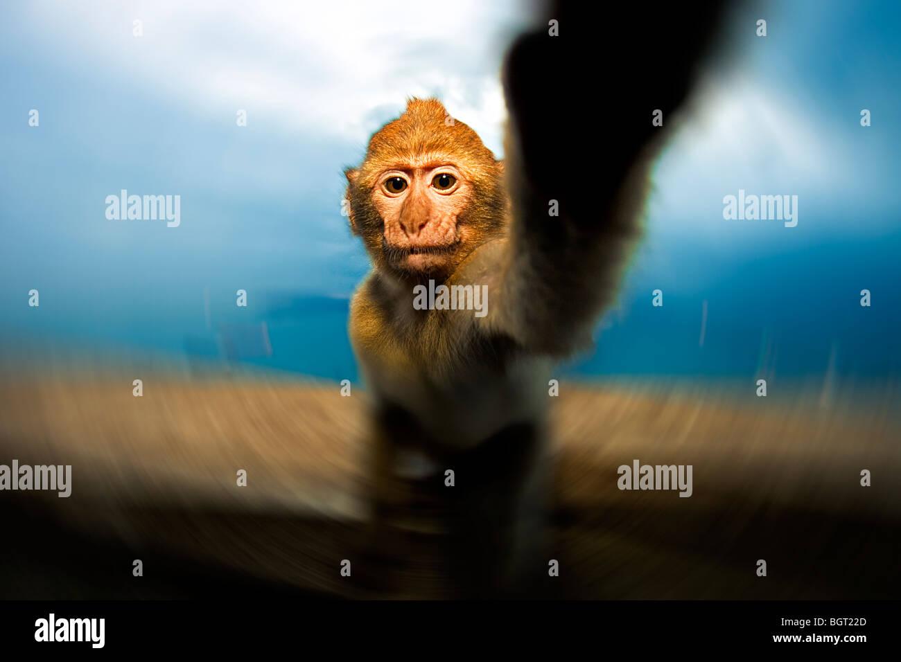 Baby monkey reaching (Macaca sylvanus), Rock of Gibraltar, UK - Stock Image