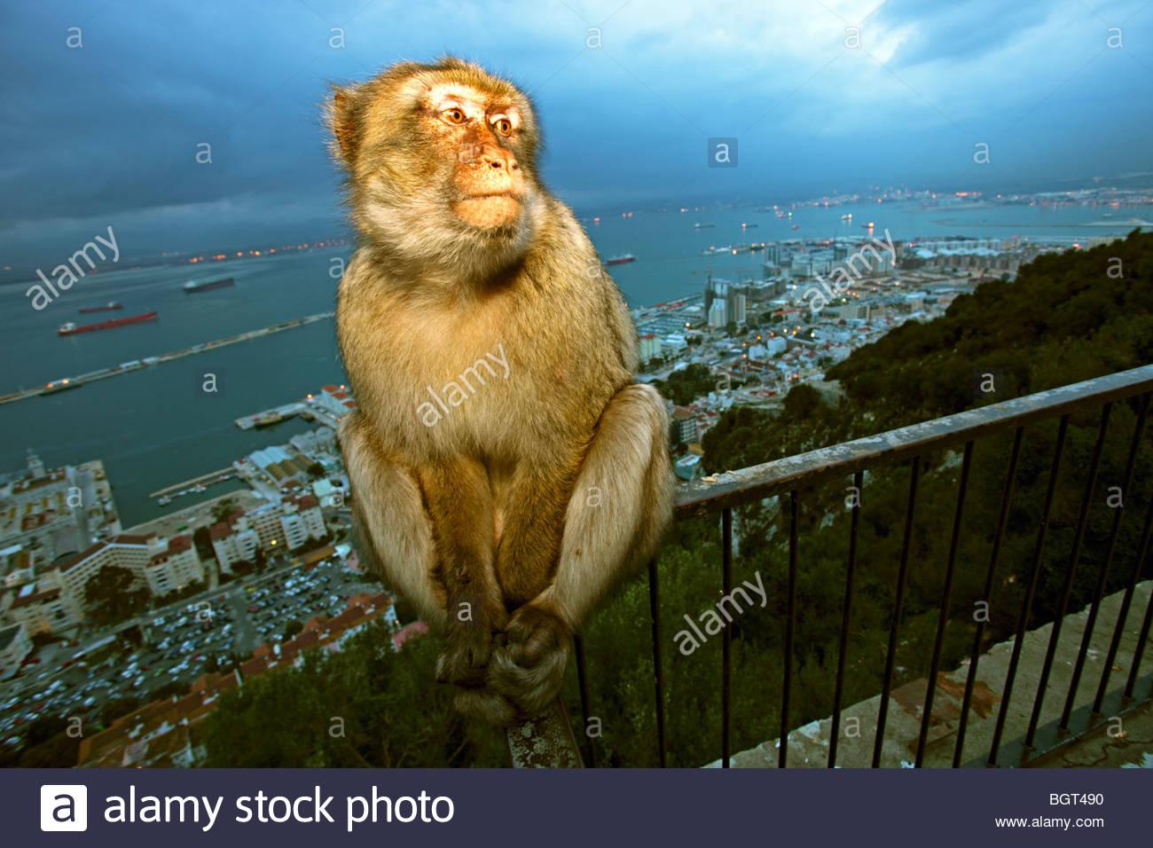 Gibraltar Ape (Macaca sylvanus), Rock of Gibraltar, UK - Stock Image