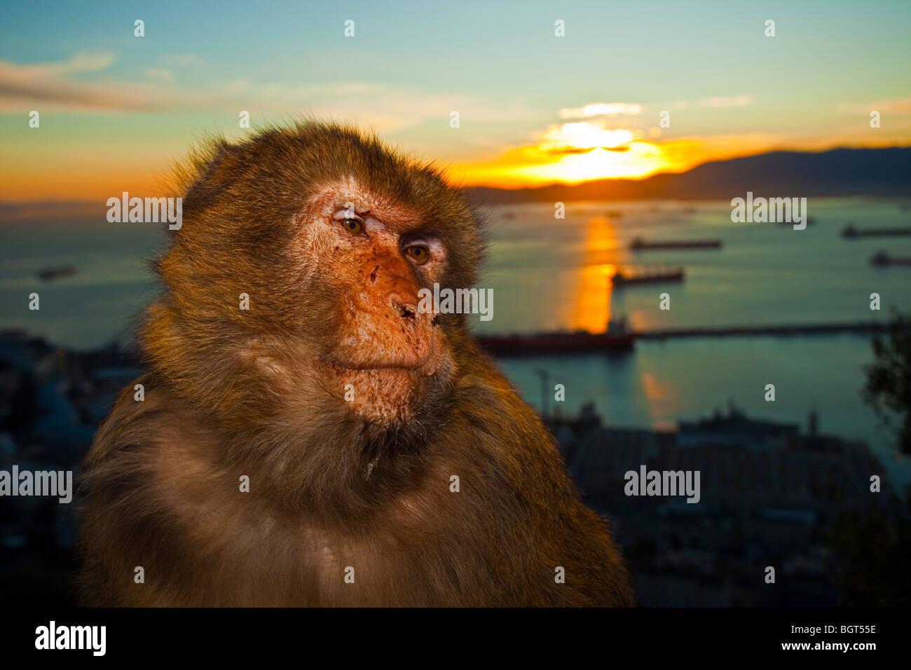 Barbary Ape (Macaca sylvanus), Rock of Gibraltar, UK - Stock Image